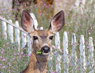 Mule deer eating weeds in a flowery summer garden.