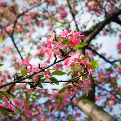 pink blossom of apple trees in springtime