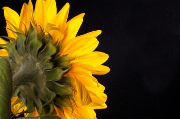 Słonecznik z kroplami rosy na czarnym tle