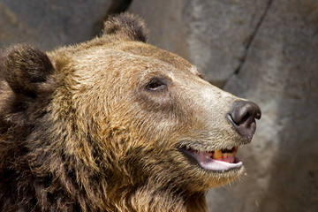 Head of laughing brown bear (Ursus arctos)