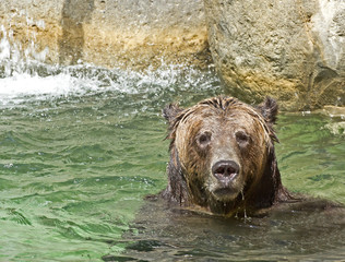 Happy brown bear playing in water