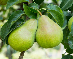 Bartlett pears hanging on the tree