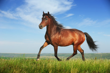 Beautiful brown horse running trot