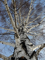 Canvas Prints Birch Grove Береза
