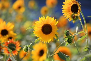 Close up shot of beautiful sun flowers