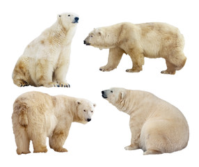 Wall Mural - polar bears. Isolated over white