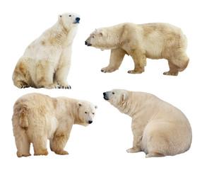 Printed roller blinds Polar bear polar bears. Isolated over white