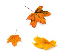 Three yellow autumn maple leaves on white background