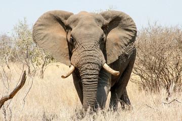Duzy slon
