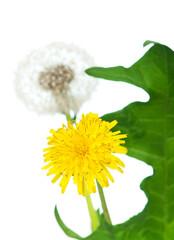 Dandelion with leaf