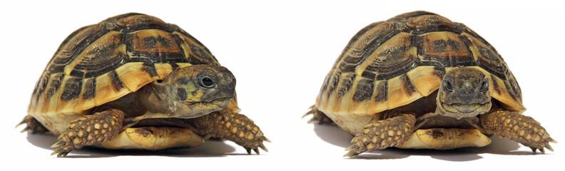 Turtles Tortoise