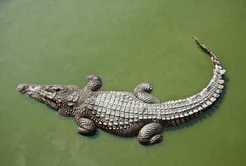 Photo sur Plexiglas Crocodile Crocodile