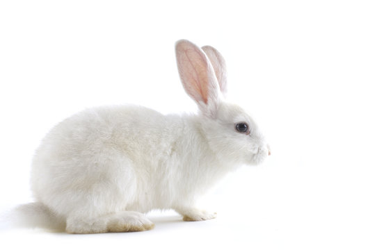 white rabbit isolated against white