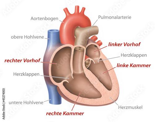 Bilder und Videos suchen: aortenbogen