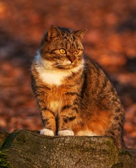 Fototapete - domestic cat