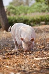 Haus schwein säugetier im freien im sommer