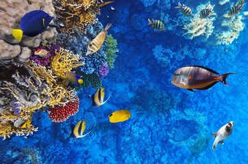 Coral and fish in the Red Sea.Egypt