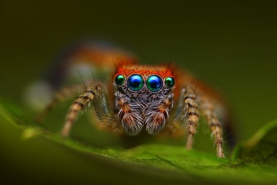 Spanish jumping spider Saitis barbipes