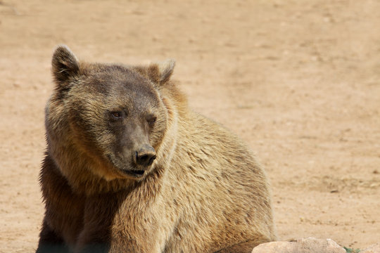 Bear looking at one side