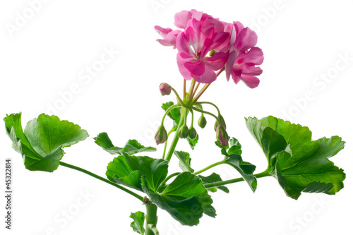 Giovane pianta di geranio in vaso talea immagini e for Talea geranio