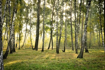 Canvas Prints Birch Grove Early morning