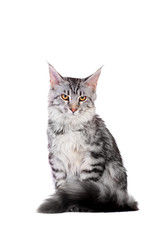 Silver Tabby Maine Coon isolated of a white background