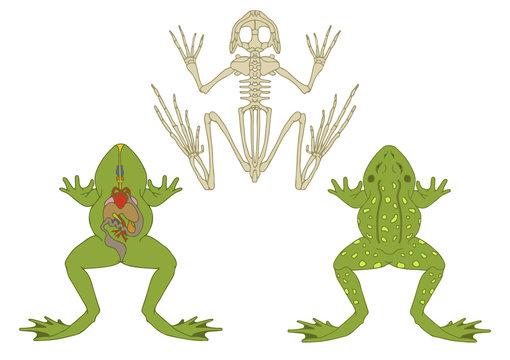 zoology, anatomy of amphibian, cross-section and skeleton