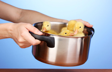 Duckling in saucepan in hands on blue background