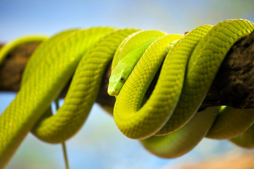Green Mamba Coiled Up on a Branch