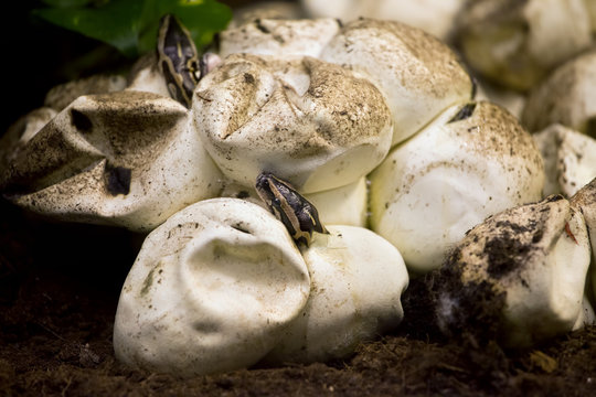 Python Hatching from Egg