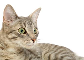 Gray kitten portrait