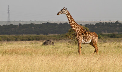 Masai Giraffe on the Savanna