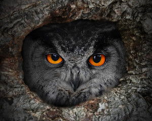 Fototapete - The evil eyes. The Eagle Owl (Bubo bubo) in a hollow tree.