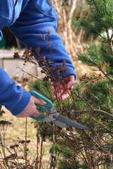 Fototapeta Pruning bushes  with secateurs obraz