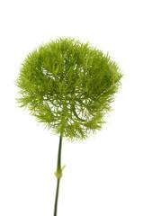 Isolated tiny conifer needles against white background