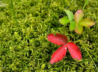strawberry leaves on moss