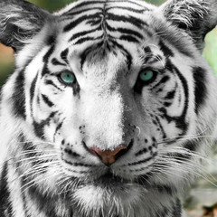 Tigre blanc royal (Panthera tigris)