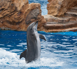 Photo sur Aluminium Dauphins Dolphin standing at his fin