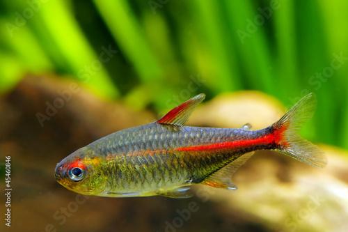 glowlight tetra fish stock photo and royalty free images on fotolia