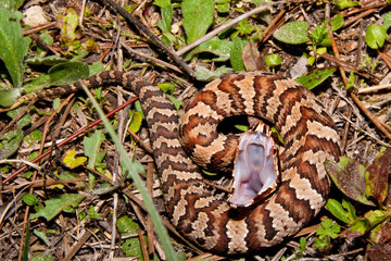 Cottonmouth Snake (Agkistrodon piscivorus)