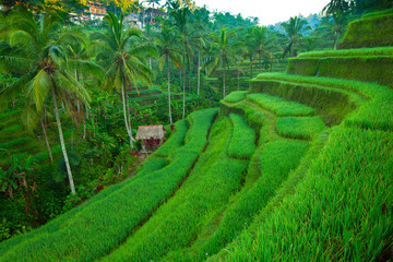 Fotobehang Indonesië Terrace rice fields on Bali island, Indonesia.