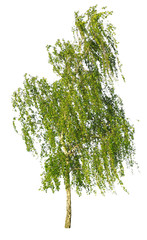 white birch isolated on white background