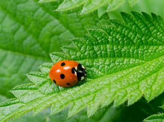 Fototapeta seven spotted ladybird on stinging nettle obraz