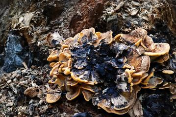 Mushroom on stump