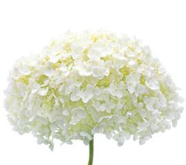 Zelfklevend Fotobehang Hydrangea White Hydrangea Flower Blooms, Isolated Macro Closeup, Mophead