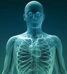 xray, circulatory system