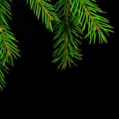 Christmas  spruce branch