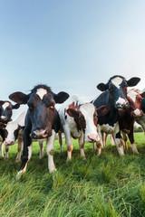 Curious Dutch milk cows