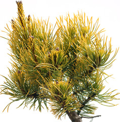 Pinus mugo Winter Gold, Isolated on white