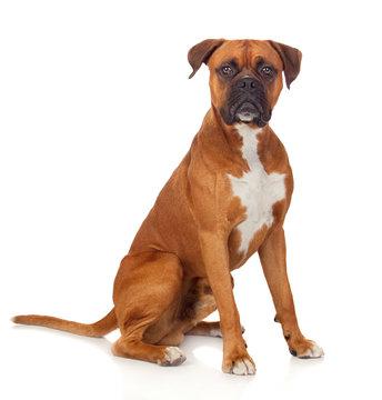 Beautiful Boxer dog